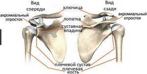 плечевая кость, ключица